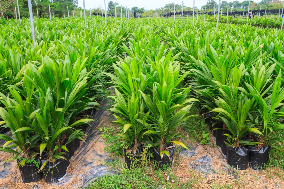 palm-oil-trees.jpg