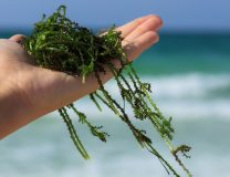 Seaweeds as Food and Medicine: An Interview with Ryan Drum